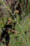 Aeschynomene mimosifolia