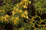Kotschya thymodora subsp. thymodora