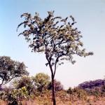 Dalbergiella nyasae