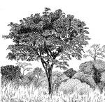 Pterocarpus angolensis