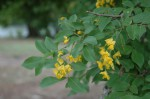 Pterocarpus lucens subsp. antunesii