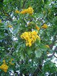 Pterocarpus rotundifolius subsp. rotundifolius