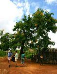 Pterocarpus rotundifolius subsp. polyanthus