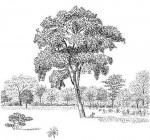 Philenoptera violacea