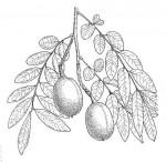 Xanthocercis zambesiaca