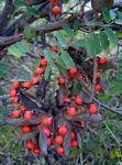 Abrus precatorius subsp. africanus