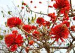 Erythrina abyssinica
