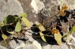 Rhynchosia stipata