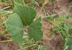 Rhynchosia sublobata
