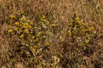Eriosema ellipticum subsp. ellipticum