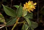 Eriosema montanum