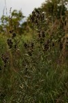 Eriosema psoraleoides