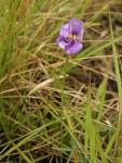 Vigna vexillata var. angustifolia
