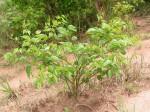 Sphenostylis erecta subsp. erecta