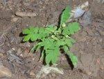 Biophytum abyssinicum