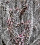 Euphorbia unicornis