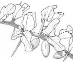 Balanites aegyptiaca var. aegyptiaca