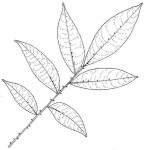 Zanthoxylum gilletii