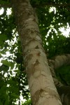Zanthoxylum leprieurii