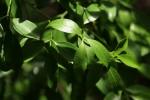 Toddaliopsis bremekampii