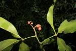 Teclea nobilis