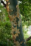 Commiphora caerulea