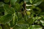 Commiphora edulis subsp. edulis