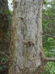 Commiphora glandulosa