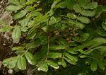 Commiphora marlothii