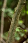 Commiphora zanzibarica