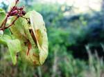Triaspis macropteron subsp. massaiensis