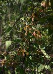 Sphedamnocarpus angolensis