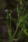 Polygala petitiana subsp. petitiana var. petitiana