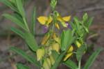 Polygala senensis var. senensis