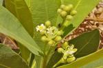 Dichapetalum cymosum