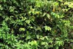 Dichapetalum madagascariense var. madagascariense