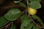 Pseudolachnostylis maprouneifolia var. maprouneifolia