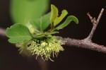 Flueggea virosa subsp. virosa