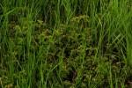 Phyllanthus arvensis