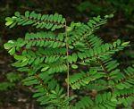Phyllanthus beillei