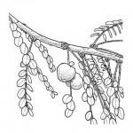 Phyllanthus engleri