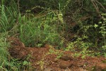 Phyllanthus macranthus var. macranthus