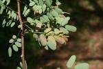 Phyllanthus ovalifolius