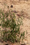 Phyllanthus pentandrus