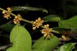 Drypetes reticulata