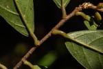 Antidesma vogelianum