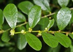 Bridelia cathartica subsp. melanthesoides var. melanthesoides