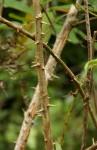 Bridelia micrantha