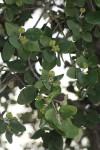 Androstachys johnsonii