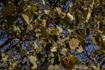 Croton macrostachyus